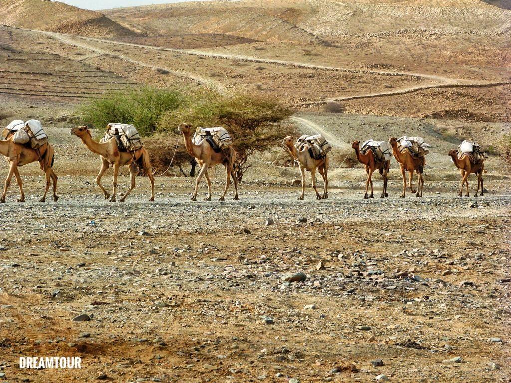 cammelli a Dancalia